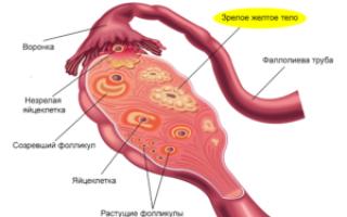 Что такое фолликулярная фаза менструального цикла