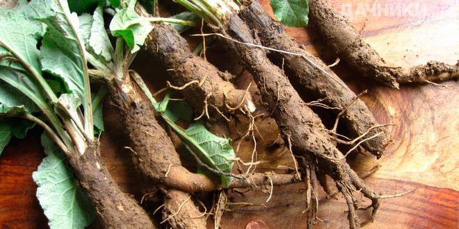 Применение корня лопуха для лечения миомы матки