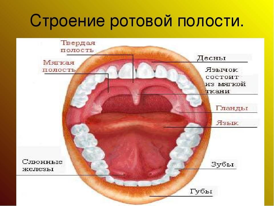 Анатомическое строение полости рта человека