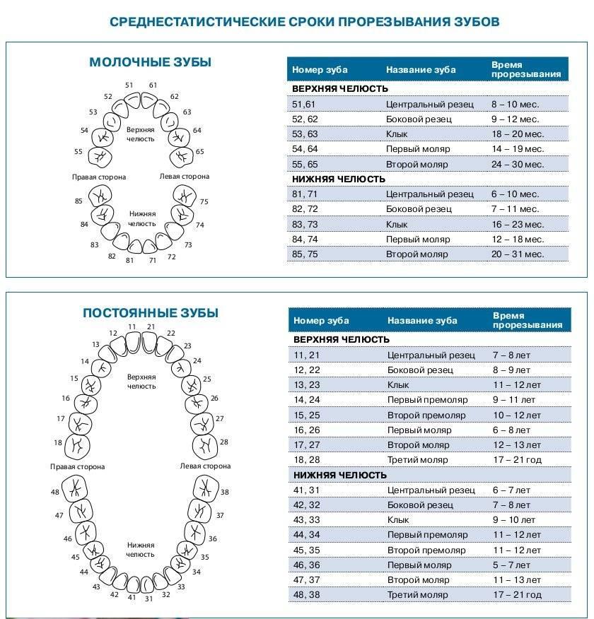 Сроки прорезывания зубов у детей : таблица появления молочных единиц, график и порядок роста
