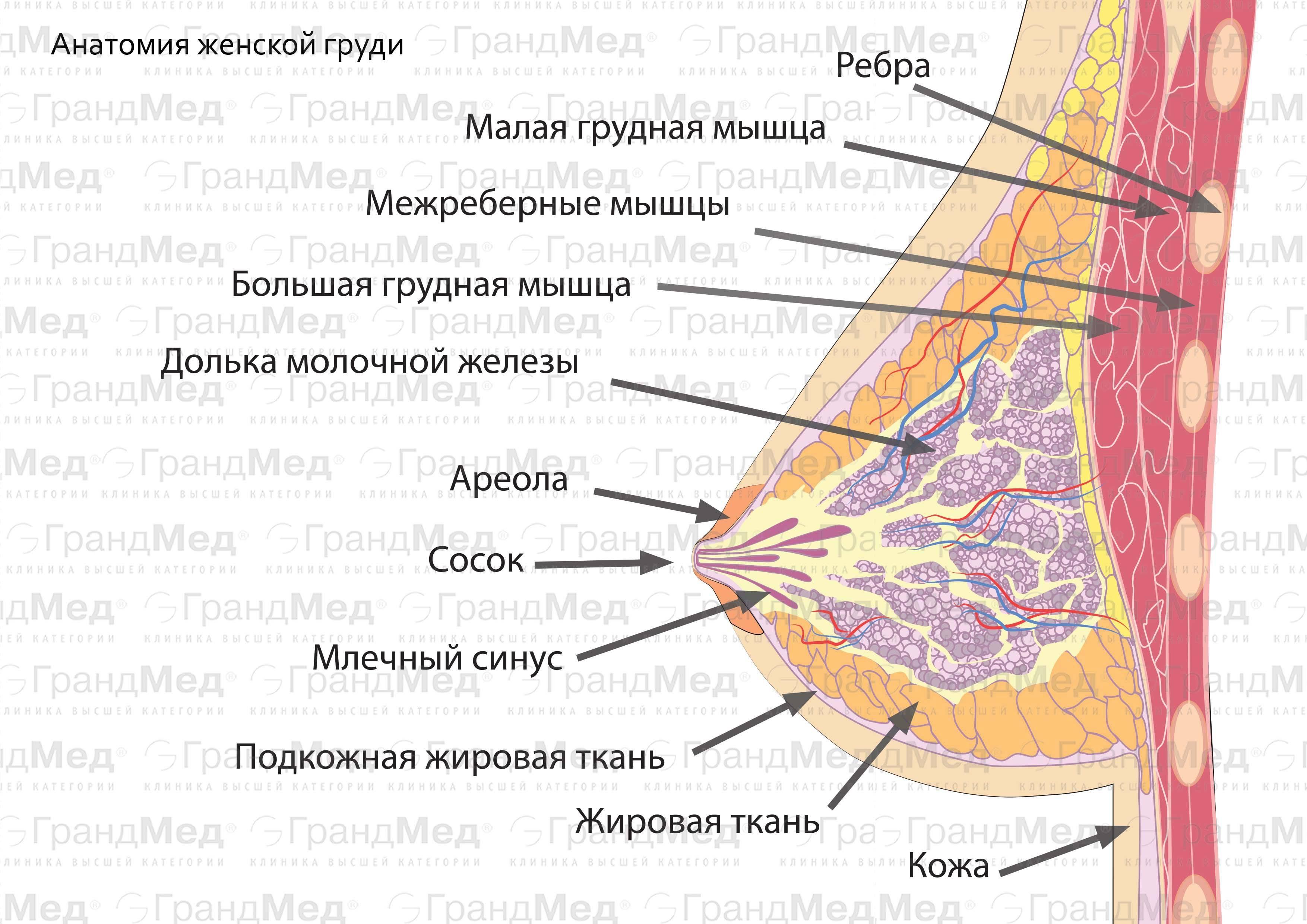 Анатомия строения женской груди — из чего состоят молочные железы