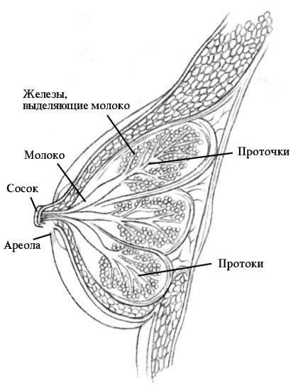 Внутреннее и внешнее строение женской груди: норма и аномалии