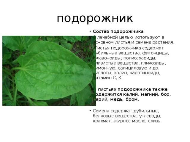 Листья подорожника лечебные свойства при бесплодии отзывы