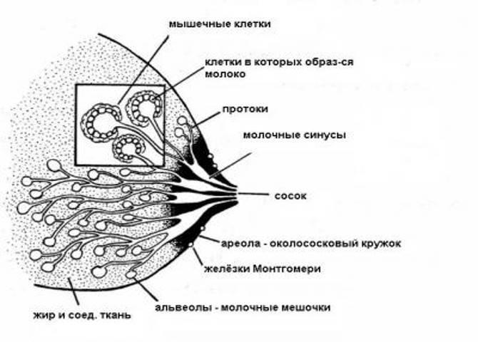 Что делать при лактостазе
