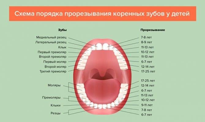 Нумерация зубов в стоматологии по разным схемам: от универсальной до системы виола