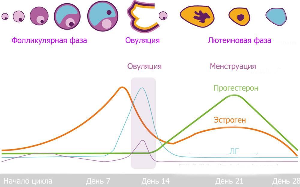 Что такое лютеиновая фаза менструального цикла
