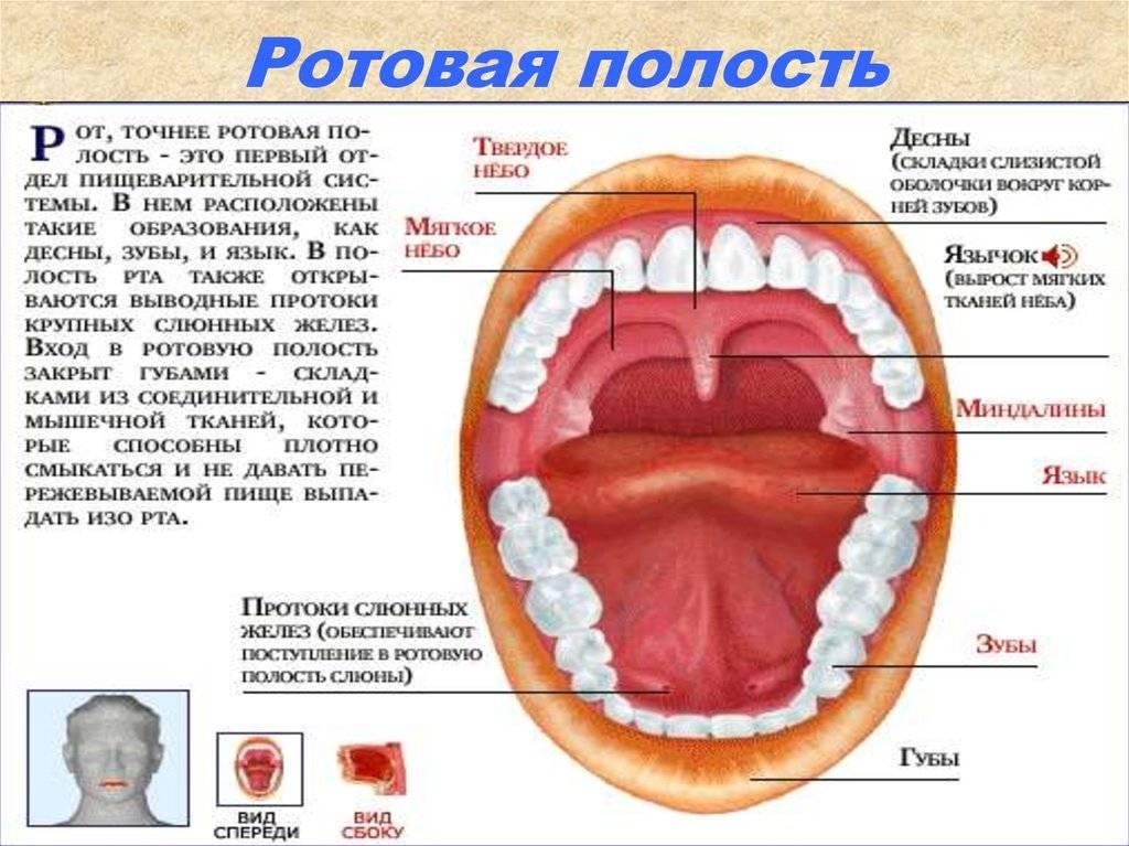 Зубные альвеолы