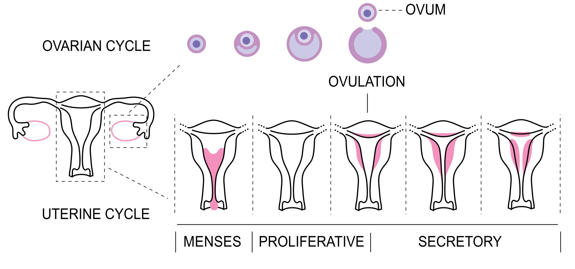Можно ли забеременеть перед месячными. вероятность зачатия в разные дни