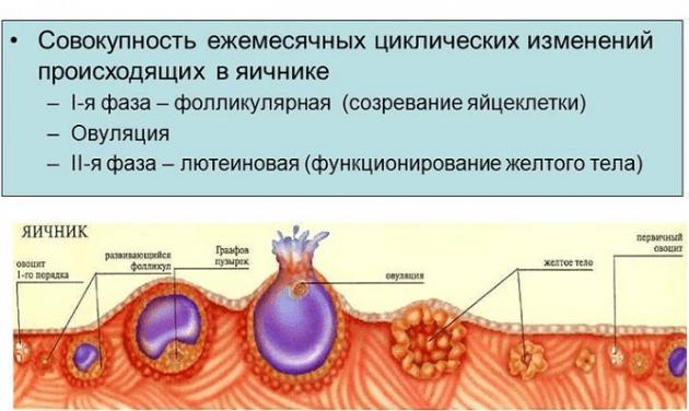 Для успешного зачатия нужно знать сколько живет яйцеклетка после овуляции