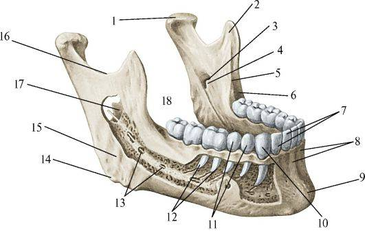Верхняя челюсть