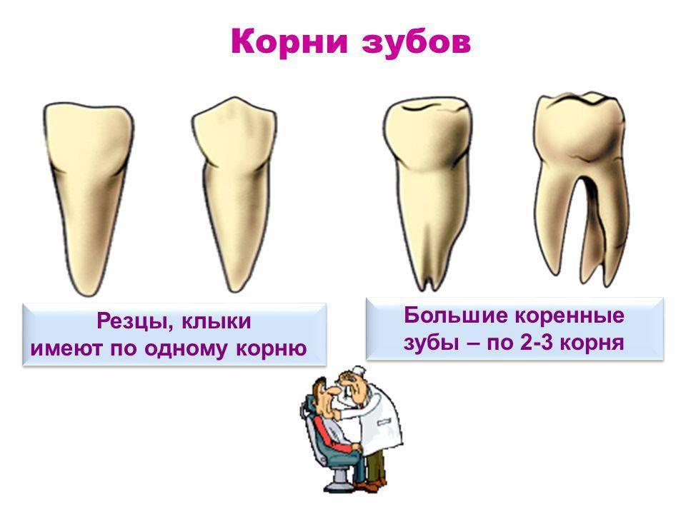 4 зуб сверху молочный или коренной. знаки различия — как отличить молочный зуб от коренного