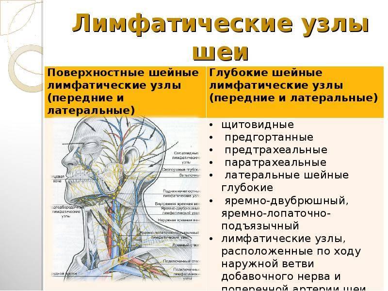 Общие сведения о лимфатических узлах. строение и функции, локализация, болезни, при которых увеличиваются лимфатические узлы