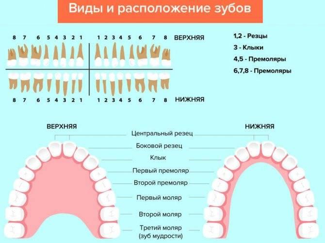 Моляры это какие зубы у детей фото