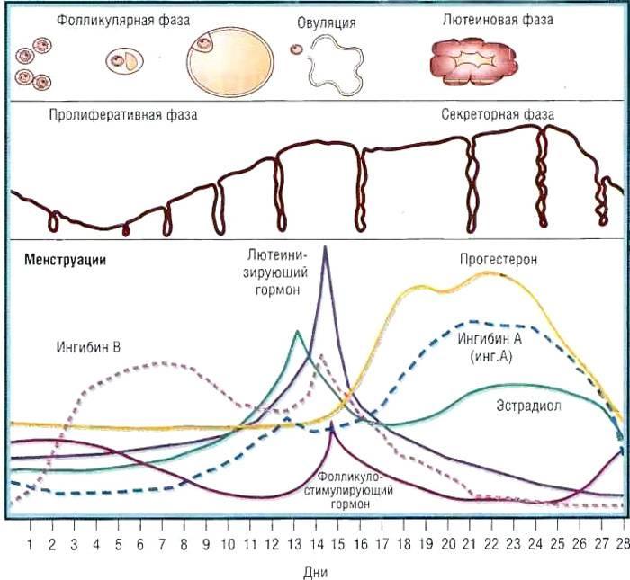 Фолликулярная и лютеиновая: как фазы цикла влияют на питание
