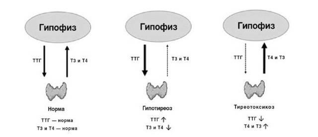 Когда можно сдавать анализ на тиреотропин женщинам