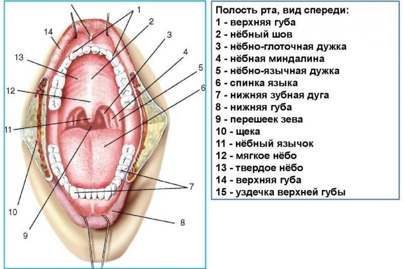 Органы ротовой полости человека