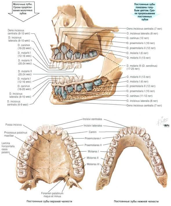 Строение зубов человека: схема расположения и анатомические особенности