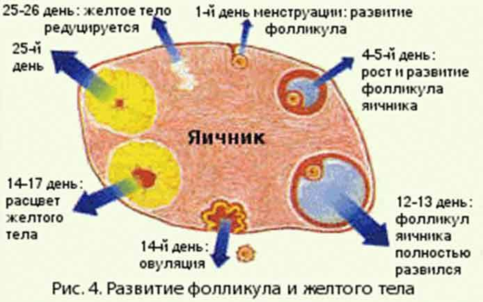 Синдром преждевременного истощения яичников: причины, симптомы, лечение, возможность беременности