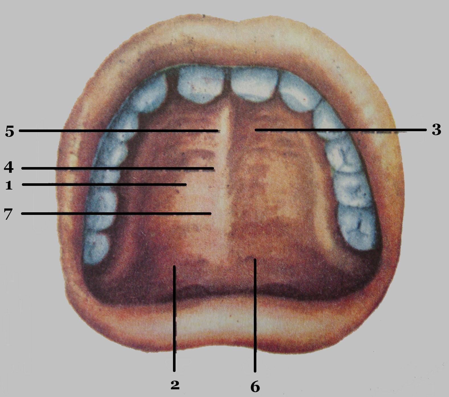 Где находятся альвеолы во рту?