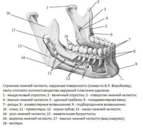 Анатомическое строение и дисфункции височно-нижнечелюстного сустава (внчс)