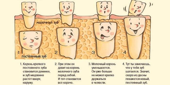 Какие зубы у детей молочные, есть ли у них корни, как их отличить от постоянных единиц?