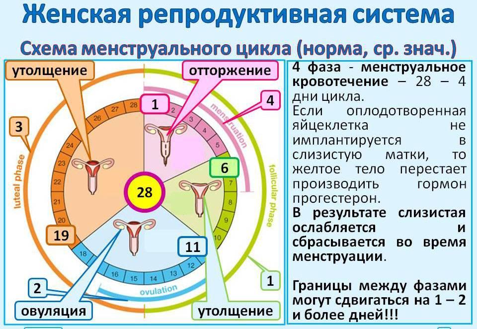 Норма эндометрия матки в менопаузе