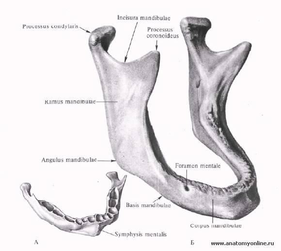 Анатомия и схема строения нижней челюсти человека и челюстно-подъязычной мышцы: отростки, ямки и каналы