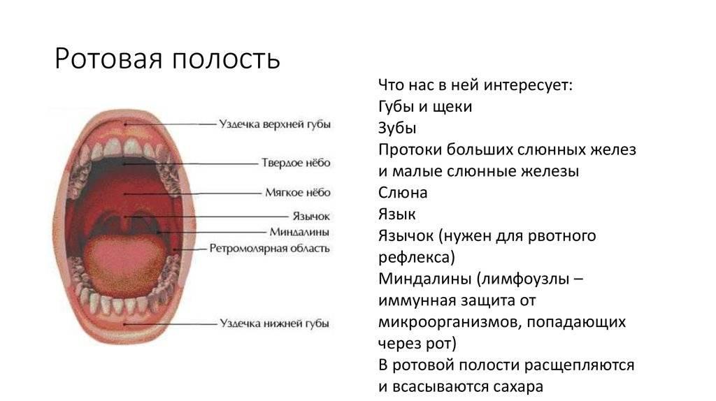 Полость рта: анатомия, функции и строение ротовой полости человека