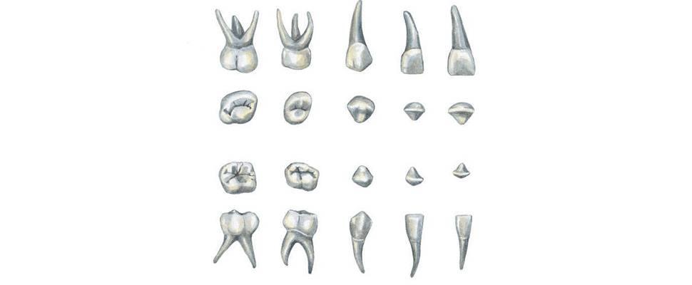Как узнать зуб молочный или. пятый зуб молочный или коренной