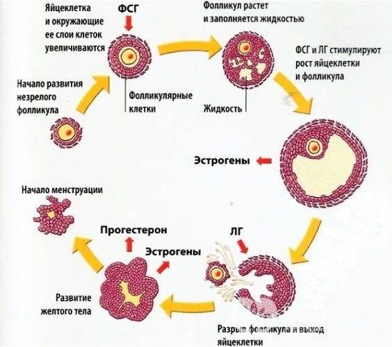 Фолликулостимулирующий гормон (фсг): норма, отклонения