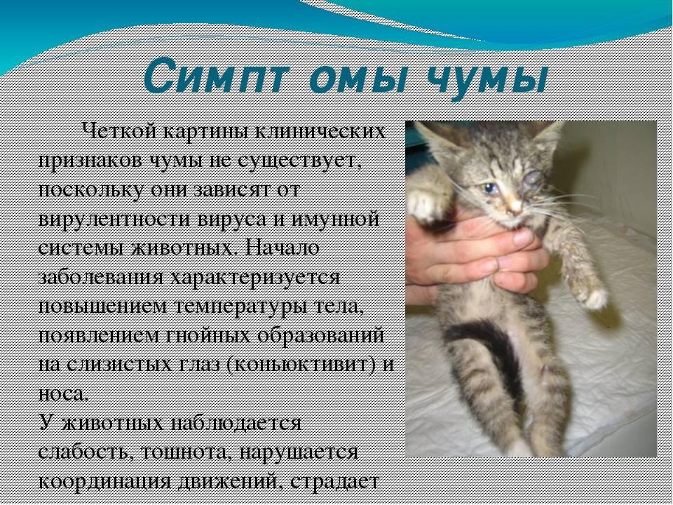 Болезни зубов у кошек: все, что необходимо знать заботливому хозяину