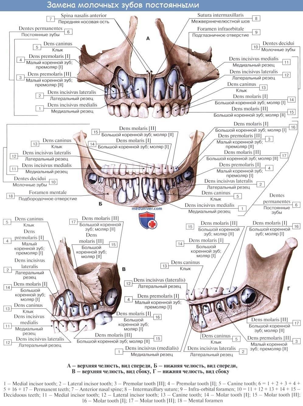 Анатомия жевательных мышц