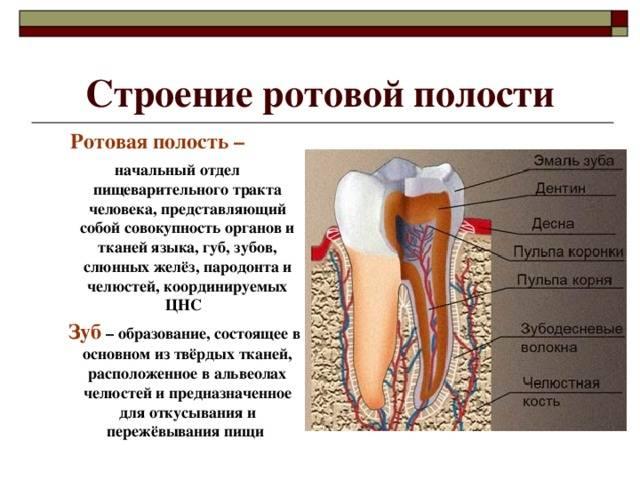 Строение и функции ротовой полости