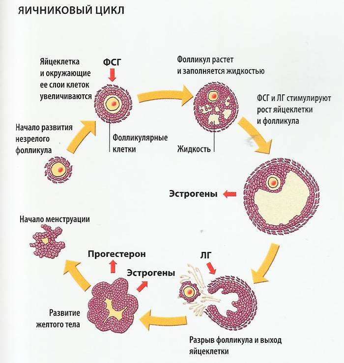 Оценка овариального резерва яичников