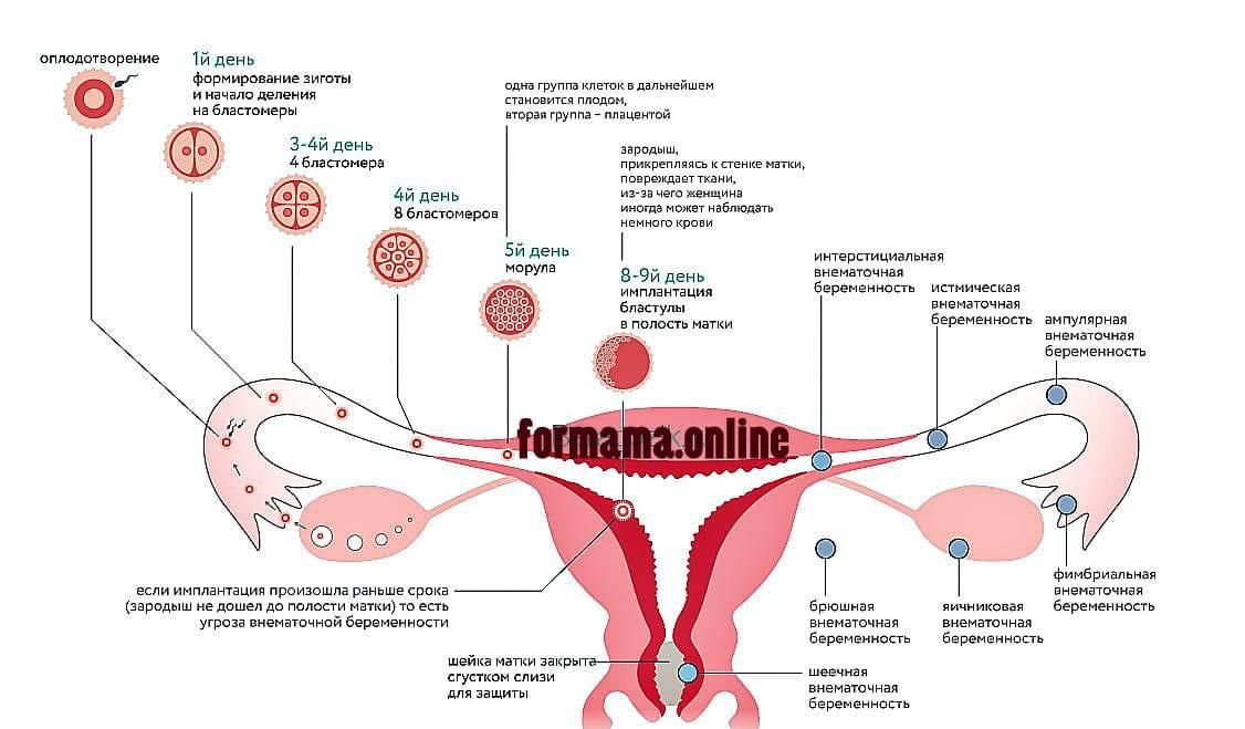 Признаки зачатия после овуляции