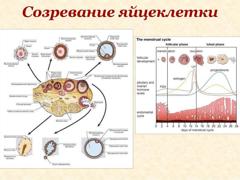 Все ли вы знаете о своем месячном цикле