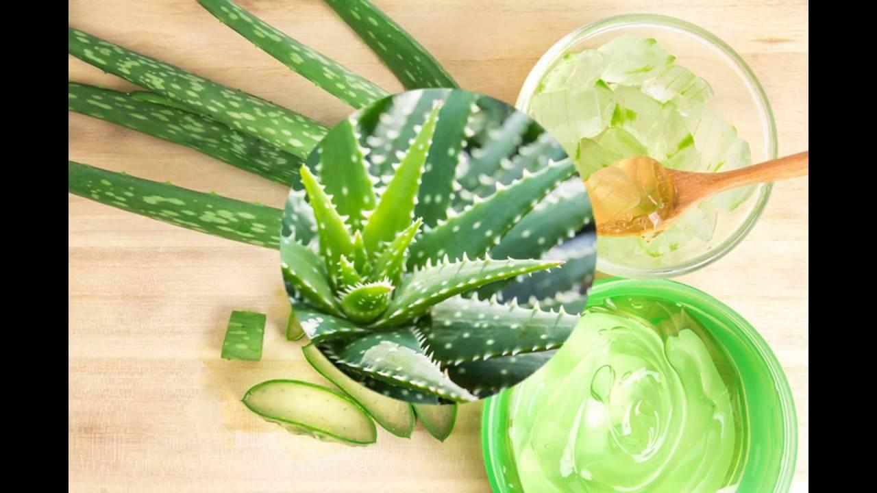 Одно из самых полезных растений – алоэ. при каких заболеваниях использовать его сок и как принимать внутрь?