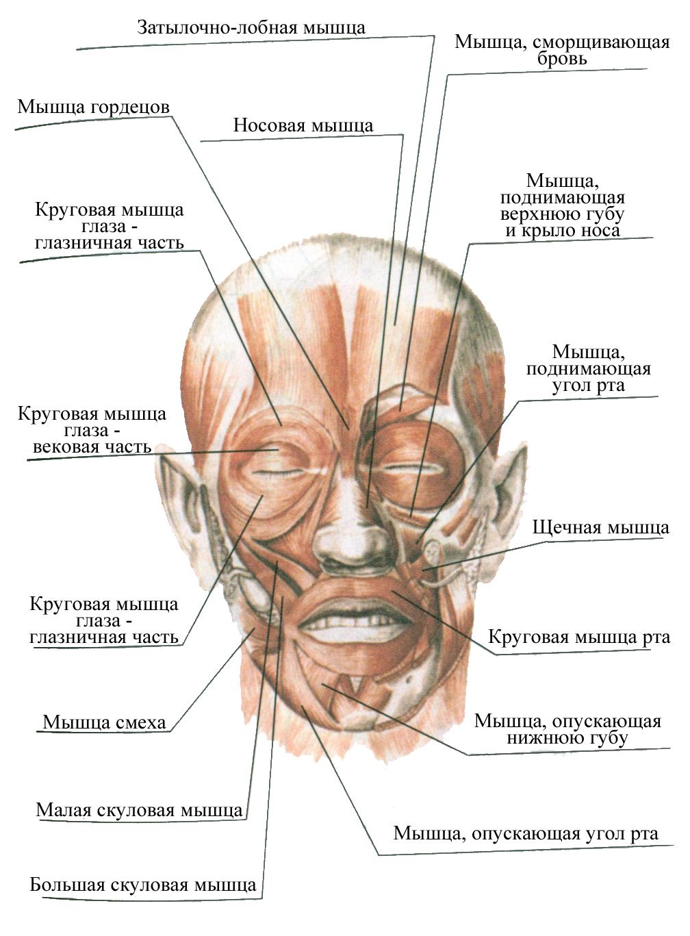 мышцы лица фото с описанием и схемами включаются таймеру времени