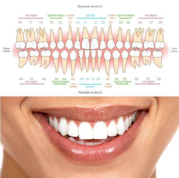 Нумерация зубов в стоматологии: используемые схемы