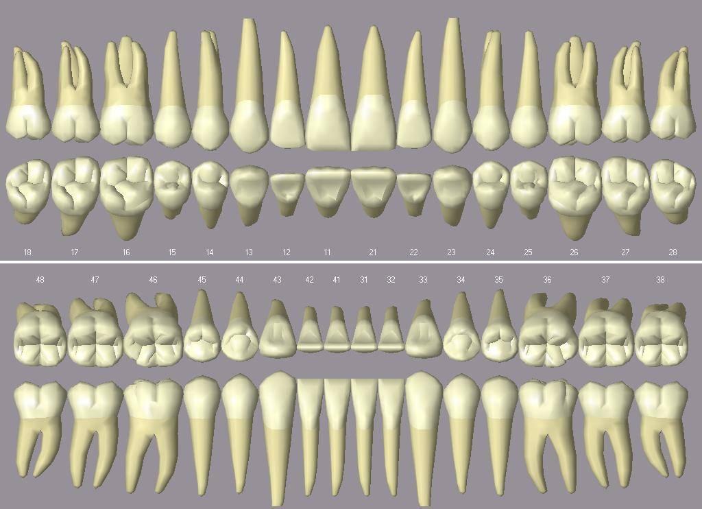 Чем отличается зуб молочный от коренного