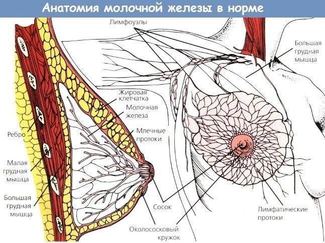 Особенности строения женской грудины