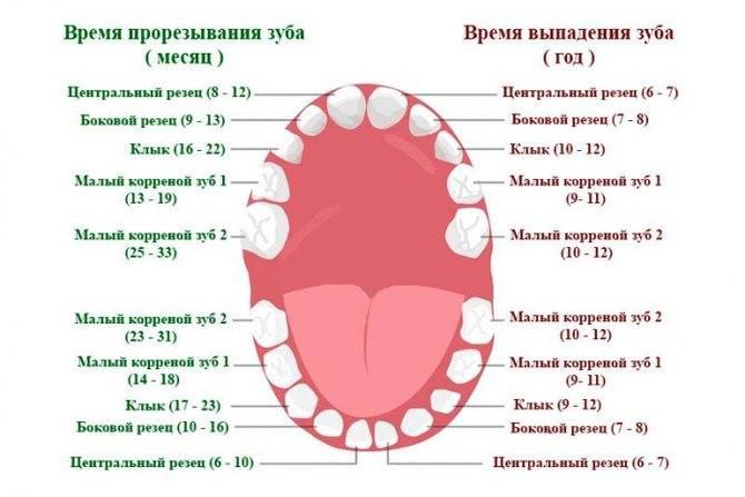 Сколько зубов должно быть у ребенка в 1 год и до одного года