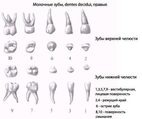Как определить коренной зуб или молочный