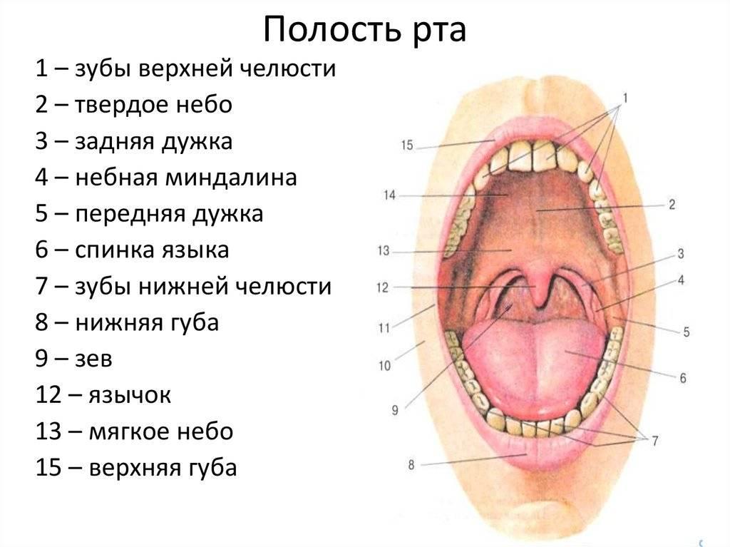 Топографическая анатомия и оперативная хирургия для стоматологов (38 стр.)