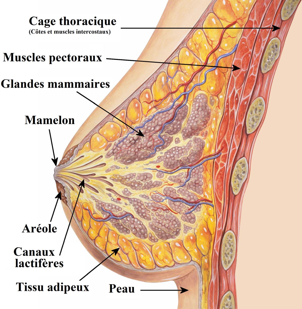 Причины боли в груди и сосках. когда начинается боль перед, после месячных, овуляции, при беременности, кормлении