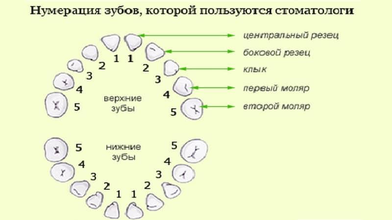 Нумерация и виды зубов: резцы, клыки, моляры, премоляры