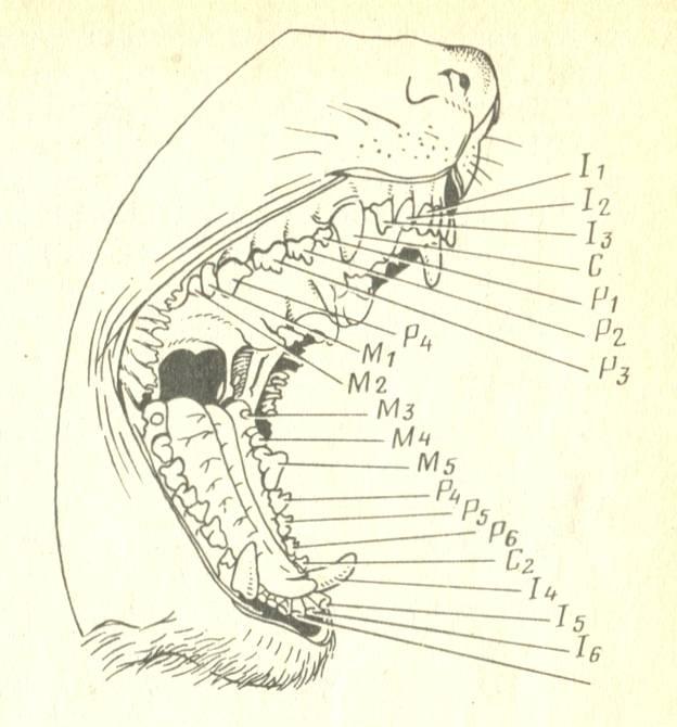 Анатомия челюсти человека