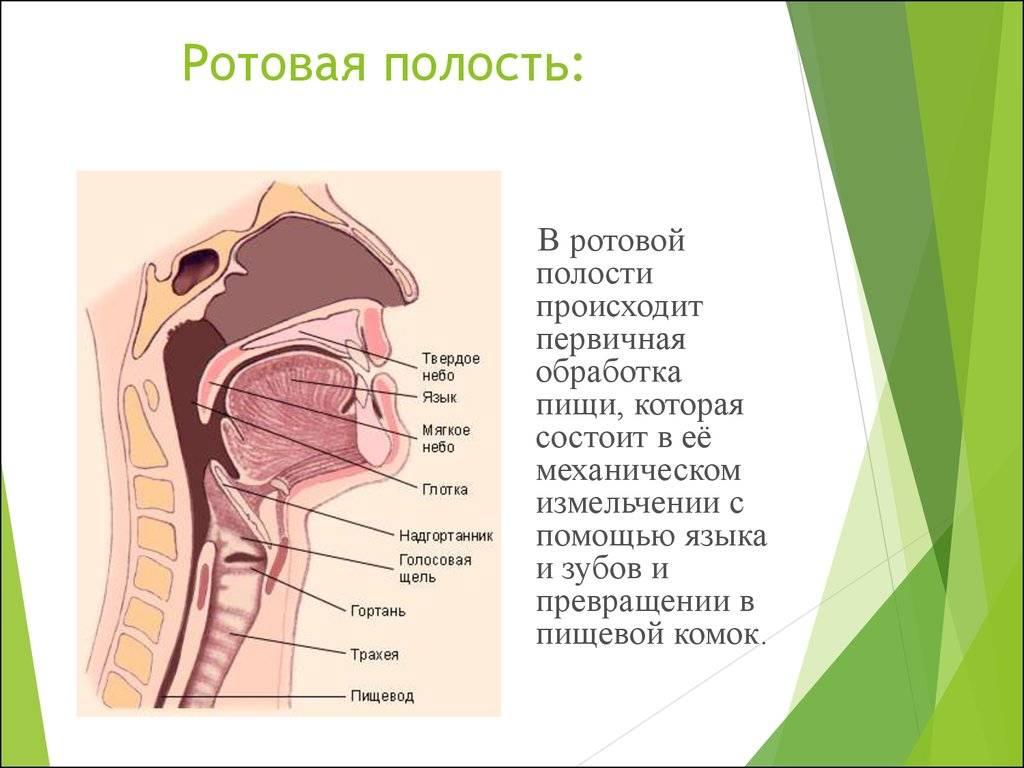 Какие органы находятся у человека в ротовой полости: строение (анатомия), функции и отделы со схемой, среда во рту