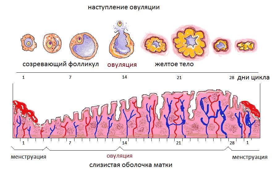 Все о процессе созревания яйцеклетки