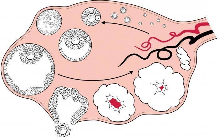 Овариальный резерв яичников – хватит ли мне запаса яйцеклеток и успею ли я родить?
